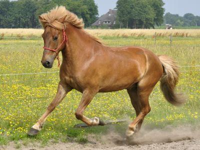 Icelandic_Horse_6374106