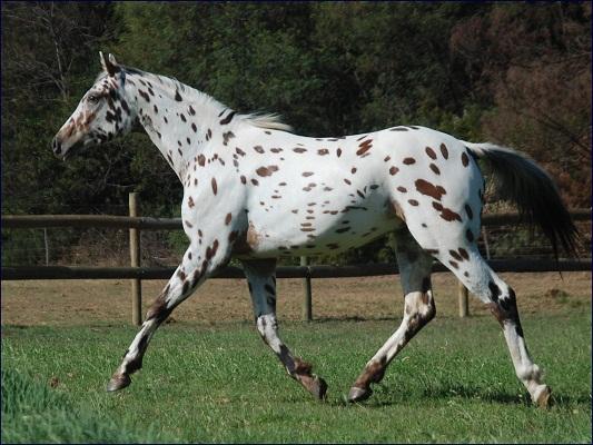 Knabstrupper-Horses