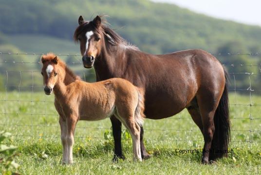 kerry-bog-pony-foal